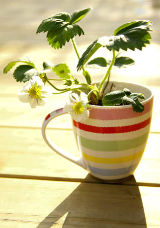 Strawberry plant in a cup